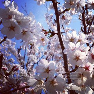 桜の写真・画像素材[1045618]
