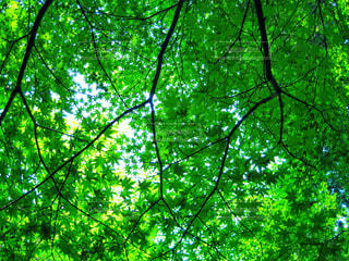 フォレスト内のツリーの写真・画像素材[1114800]