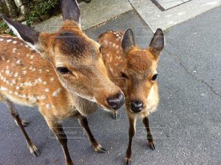 鹿の写真・画像素材[1118802]