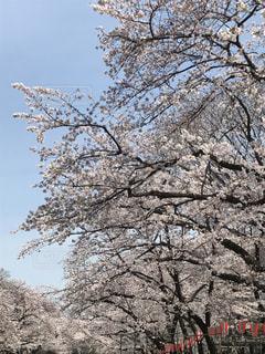 桜満開 - No.1045833