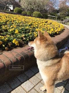 花の前に立っている犬の写真・画像素材[1046104]