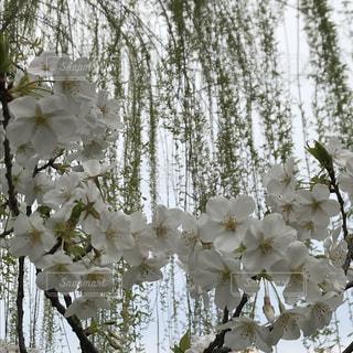 木の花の花瓶の写真・画像素材[1080501]