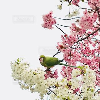 桜に鳥 - No.1080900