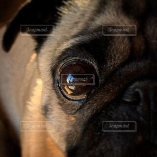 パグの目の写真・画像素材[4131542]