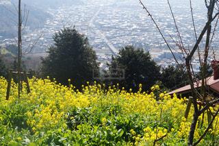 菜の花畑の写真・画像素材[1076382]