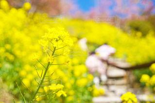 菜の花畑の写真・画像素材[1076386]