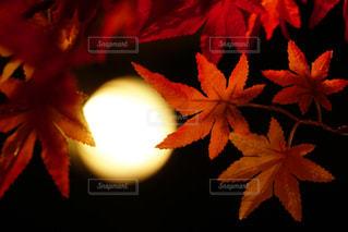 室内飾りの紅葉の写真・画像素材[1047643]