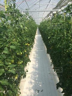 トマト農家の写真・画像素材[1873616]