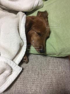毛布の上に横になっている茶色と白犬 - No.879531