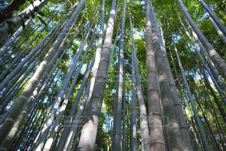 竹林の中で背比べ中。の写真・画像素材[1050640]