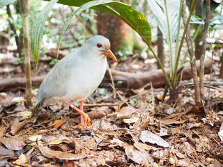 ニューカレドニアの国鳥カグーの写真・画像素材[1047964]
