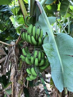 木からぶら下がってバナナ s のグループ - No.1050418