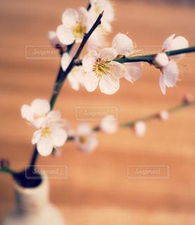 梅の花*·⑅❁の写真・画像素材[1049075]