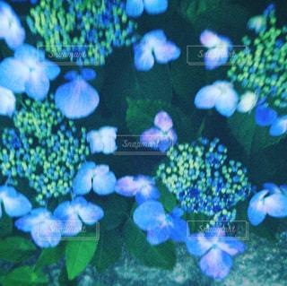 紫陽花の写真・画像素材[1239600]