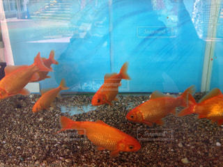 金魚の写真・画像素材[1284882]