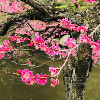 紅梅の写真・画像素材[1051737]