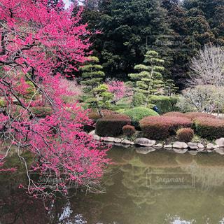 梅の花と池の写真・画像素材[1051738]