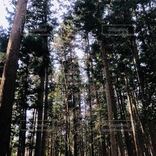 杉林の写真・画像素材[1051740]