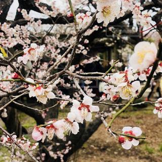 白の梅の花の写真・画像素材[1051742]