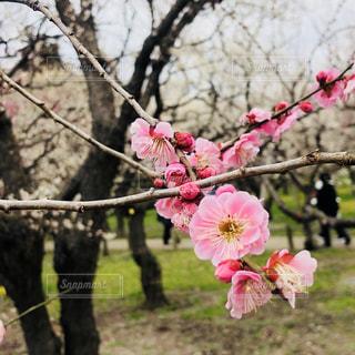 ピンクの梅の花の写真・画像素材[1051743]