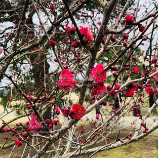 ピンクの梅の花の写真・画像素材[1051744]