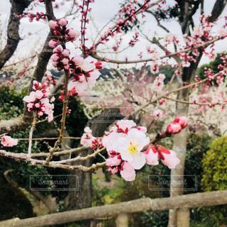 ピンクの梅の花の写真・画像素材[1051745]