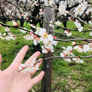 梅の花に手のひらの写真・画像素材[1051746]