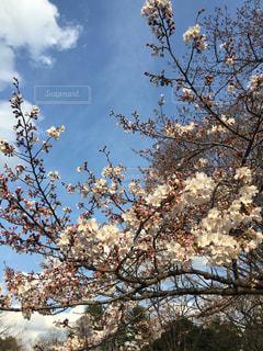 満開の桜 - No.1067182