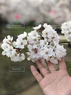 桜 - No.1098430