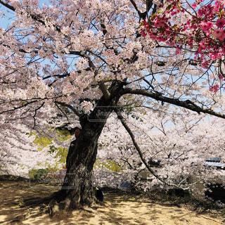 桜の写真・画像素材[1098433]