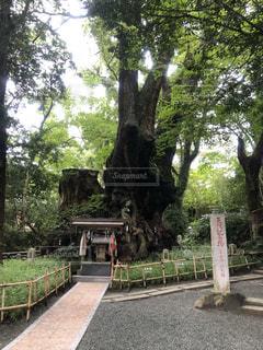 パワースポットの大楠♡熱海 来宮神社の写真・画像素材[1598714]