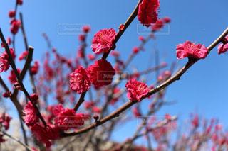 梅の花(赤色) - No.1048920