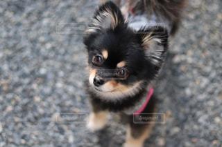 黒と茶色の犬の写真・画像素材[1049584]