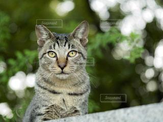 猫の写真・画像素材[240495]