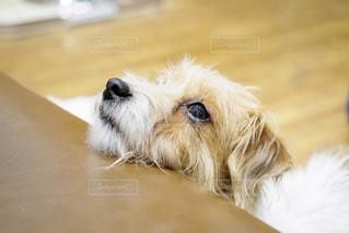 だらける犬の写真・画像素材[1615155]