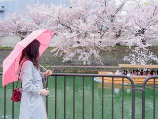 雨の桜の写真・画像素材[2028635]