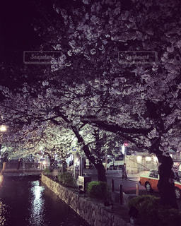 京都高瀬川の桜の写真・画像素材[1050321]
