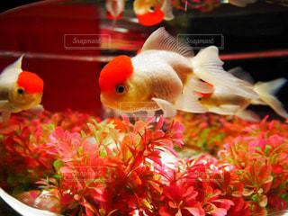 金魚の写真・画像素材[1054755]