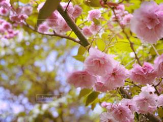 桜🌸の写真・画像素材[1208856]