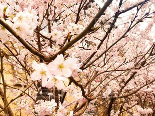桜の写真・画像素材[2250750]