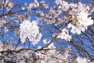 桜の花と青空の写真・画像素材[1082151]