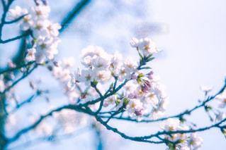 桜の写真・画像素材[1229481]