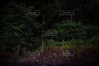 ゲンジホタルの夜の写真・画像素材[1248908]