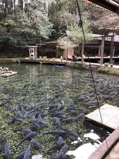 大漁の鯉の写真・画像素材[1054265]
