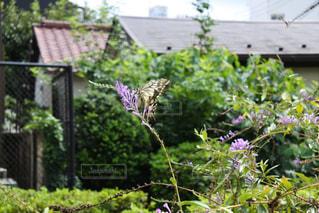 蝶々と花の写真・画像素材[1050175]