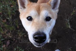 見つめる柴犬の写真・画像素材[1050177]