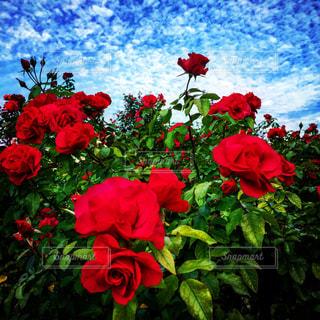 青空の下に咲き乱れる赤いバラの写真・画像素材[1003410]