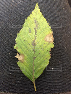イヌシデの葉の写真・画像素材[1050226]