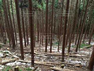 間伐された林の写真・画像素材[1050425]