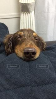 ダックス 寝顔の写真・画像素材[1050319]